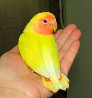 super tame BEAUTIFUL handfed baby lovebird (peachface lutino)