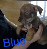 Adorable Blue eyes and Gorgeous Puppy Rescues Need You!