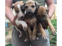 Saluki whippet grey hound puppies