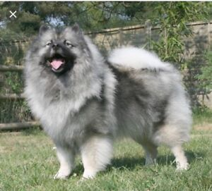 Wanted: Keeshond puppy mix