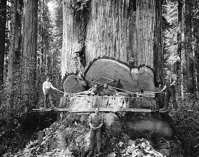 Redwood Sequoia Logging Photo Big Logs Giant Tree Cut California
