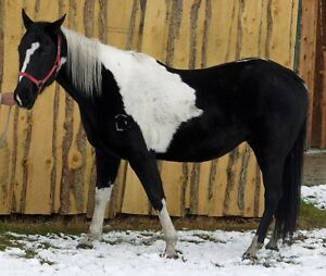 2009 Grade Black and White Paint Gelding