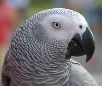 Young Male Congo African Grey