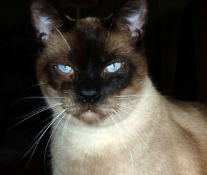 Seal Point Siamese Male
