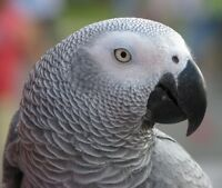 Young Congo African Grey with huge cage