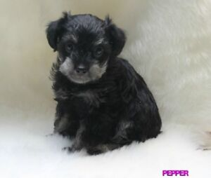 BEAUTIFUL SCHNOODLE PUPPIES
