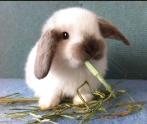 Looking for lop bunny!