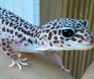 Leopard Gecko Morphs + 1 Tank with Full Set-Up