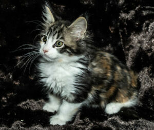 MAINE COON KITTENS - NEW PICTURES