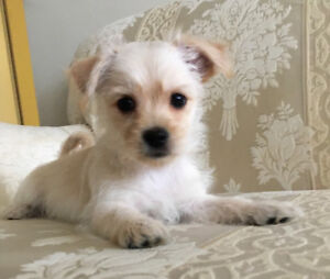 Morkie Puppies! Maltese/Yorkshire Terrier