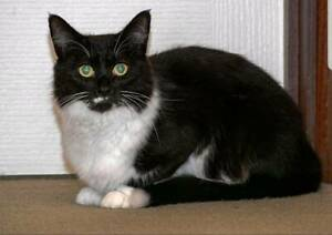 AC1151 : Beyonce - CAT for ADOPTION - Vet Work Included