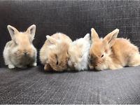 3 pedigree lion lip eared rabbits for sale