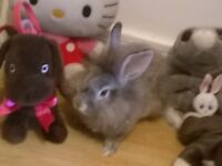 Lionhead grey rabbit for sale £40 including cage & food etc... Nice and friendly