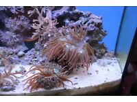 Rose bubble tip anemones