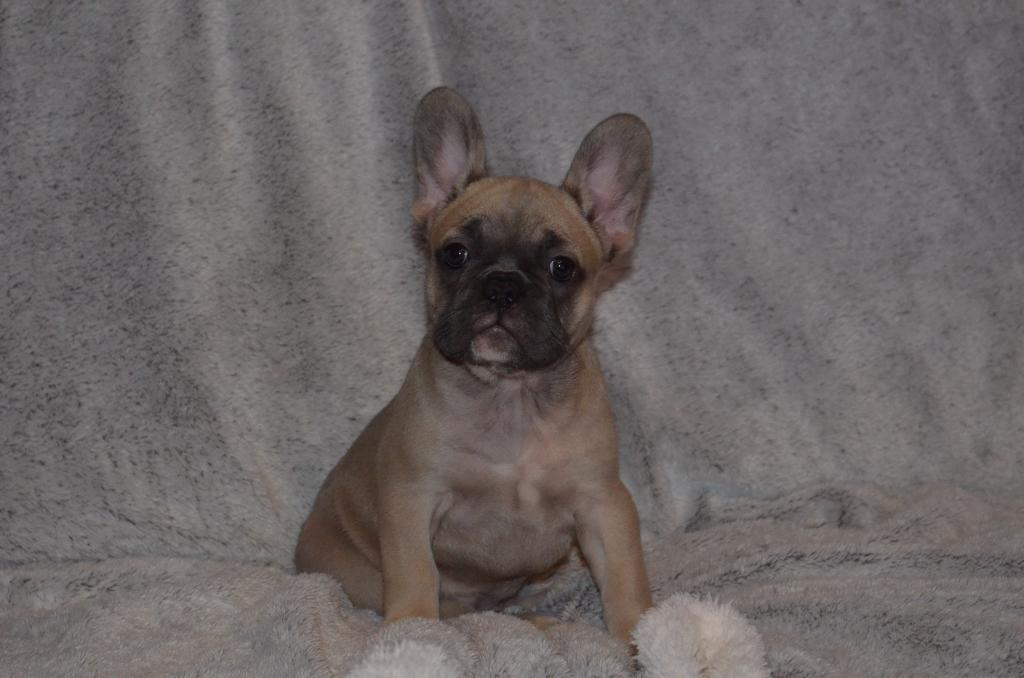 Blue fawn french bulldog puppies