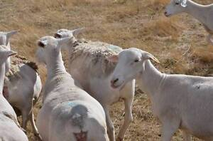 Young White Dorper Ewes Scanned Undetectable Bathurst Bathurst City Preview