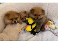 Adorable Little Fluffy Pomeranians