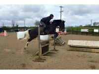15.2h 10yo coloured ISH mare