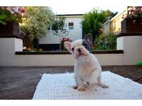 Beautiful KCreg Top Quality French Bulldog Puppies