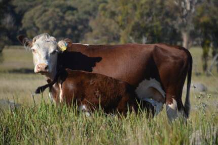 8 cows and calves for sale
