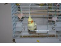 LOST YELLOW COCKATIEL WITH ORANGE CHEEKS EAST KILBRIDE AREA HAS METAL TAB AROUND ONE LEG