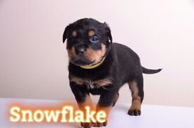 Beautiful Rottweiler Pup 1 Girl Left (Ready To Go)