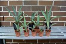 Agave Desertii- Century Plant- Healthy Garden Succulents Eastwood Ryde Area Preview