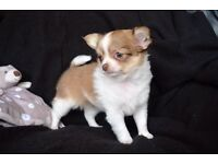 Super Tiny Long Coat Chihuahua Puppies /KC Reg/ Lilac/Chocolate