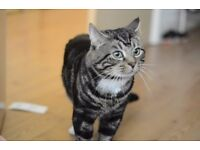 Half British Shorthaired Male Cat Needs Rehoming Free To A Good & Loving Home