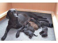 Labradoodle Puppies