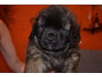 Leonbergers puppies for sale