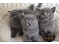 Gorgeous British Blue Kittens