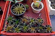 Backyard Succulent Sale! Variety of Garden Plants! Eastwood Ryde Area Preview