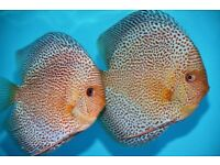 Best Quality Discus