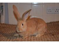Continental giant rabbits for sale from next week