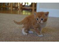 Beautiful Ginger Tabby Kitten For Sale