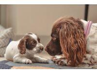 Sprocker puppies - 3 x girls