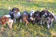 German Wirehaired Pointer pups Mount Gambier Grant Area Preview
