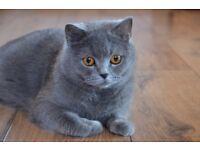 Beautiful blue bsh kitten