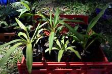 Backyard-grown Dracaena Plants! Perfect Indoors or in the Garden! Eastwood Ryde Area Preview