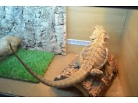 Bearded Dragon with full setup and accessories for sale