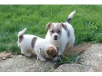 Traditional Rough Coated Jack Russell Pups