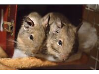 A pair of very friendly 1.5yr old degu boys with beautiful custom made cage for sale at SE13 London