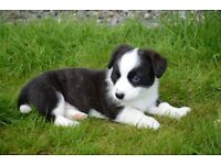 Adorable Welsh Corgi Cardigan Puppies. Ready now. 8 weeks old. KC and CS registerred