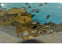 African cichlid Shellys FISH THAT LIVE IN SHELLS