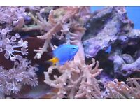 Yellow-tailed Blue Damselfish