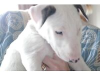 English Bull Terrier Puppies - 2 For Sale both Female