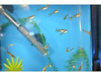 10 Young guppies baby tropical fish Guppy male female mix