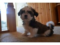 Beautiful Shih Tzu Pups for sale
