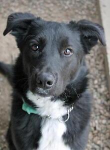 """Young Female Dog - Labrador Retriever-Border Collie: """"Chloe"""""""